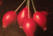 L'églantier source de vitamine C. Pensez aux confitures et marmelades