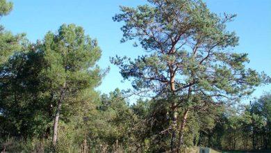 Le pin sylvestre, un arbre de nos forêts et un médicament