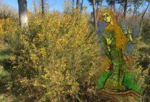 Sainte Radegonde et la légende des ajoncs fleuris